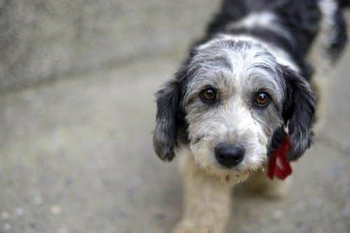 How Do You Treat Addison S Disease In Dogs