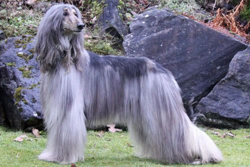 Afghan Hound posing in front of rocks