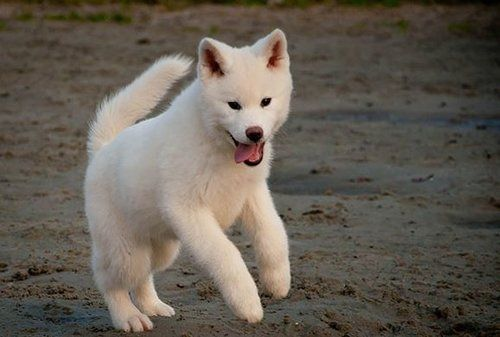 Akita Dogs Complete Breed Overview
