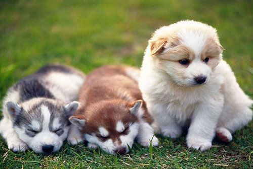 Alaskan Malamute Pet Insurance Compare Plans Prices