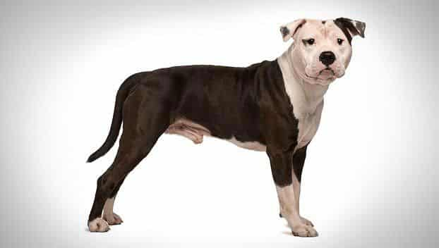American Staffordshire Terrier | Compare Pet Insurance Plans