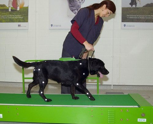 Dog getting physical therapy treatment for arthritis