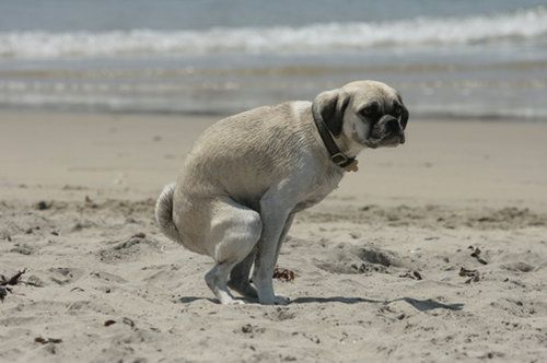 Dog taking a poo on the beach