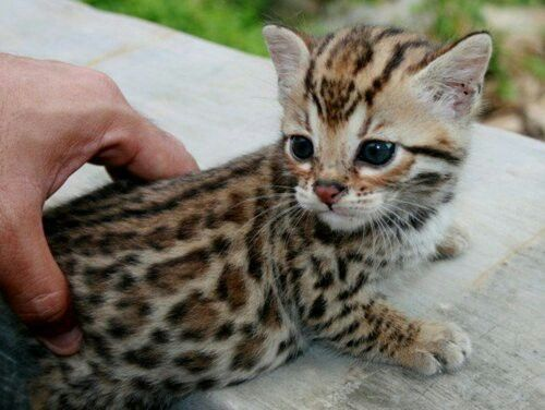 How to get rid of a bengal cat