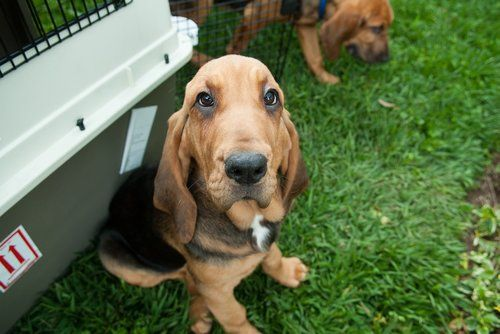 bloodhound dog pet insurance compare plans prices. Black Bedroom Furniture Sets. Home Design Ideas