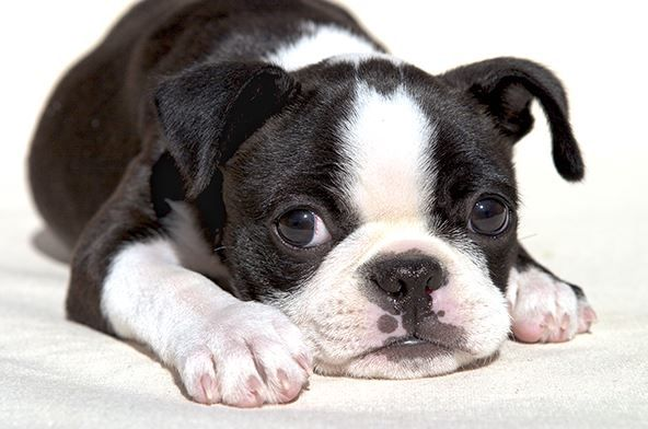 Boston Terrier Dogs Breed Overview
