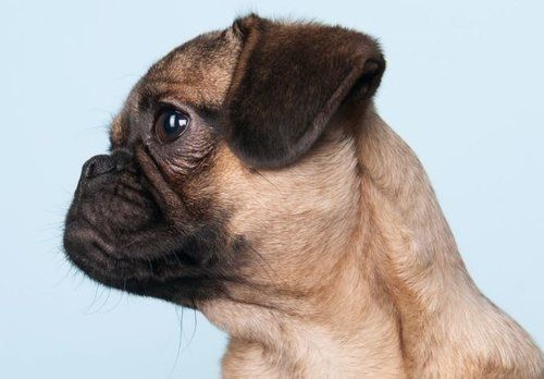 Pug dog pictured with a Brachycephalic skull