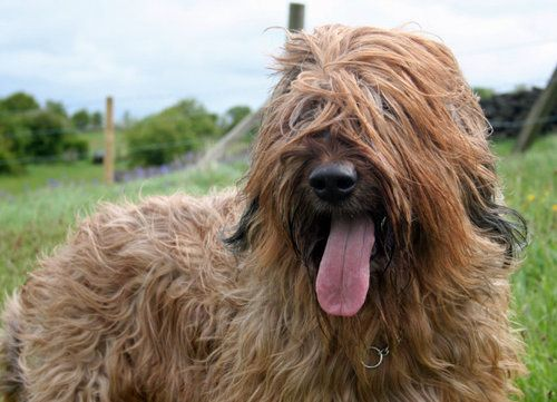 Briard dog with fur over the eyes and tongue hanging out
