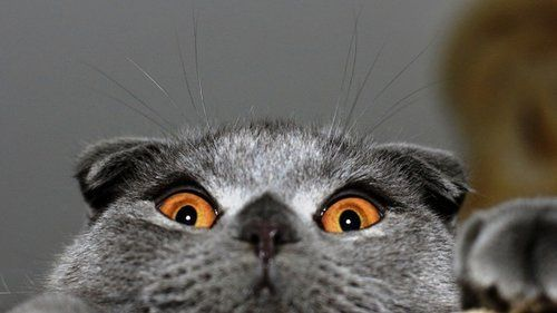 British Shorthair cat funny face