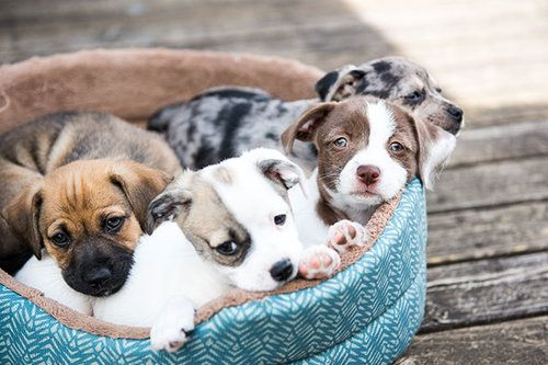Four puppies laying in a doggy bed