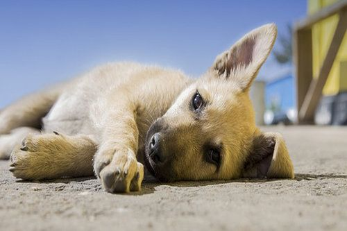 canine rheumatism