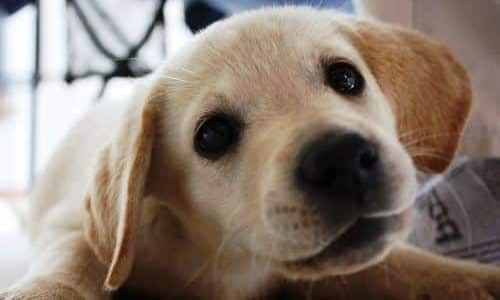 cerebellar hypoplasia in dogs