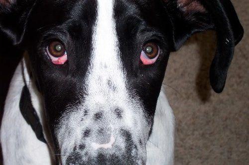 cherry eye dogs