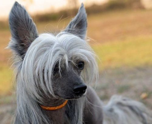 Gray Chinese Crested dog with orange collar