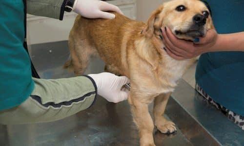 chronic active hepatitis in dogs