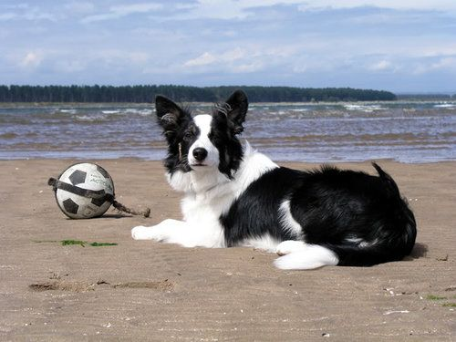 Collie dog laying on the beach next to a soccer ball