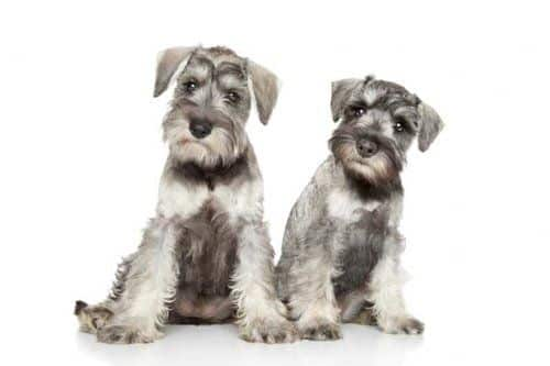 Two Schnauzers posing for the camera