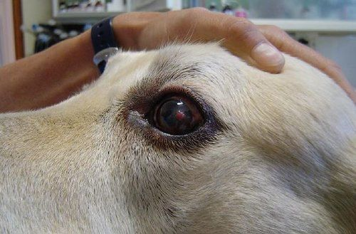 Dog being diagnosed with a corneal ulcer