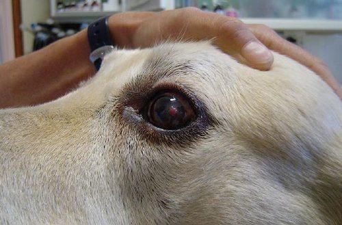 corneal ulcers dogs