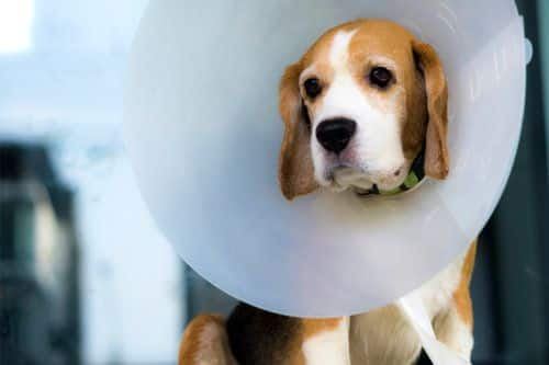 cryptorchidism in dogs
