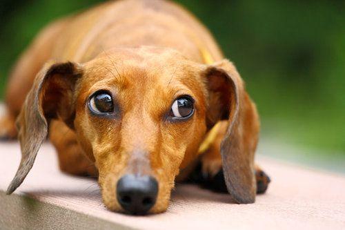 cushings disease dogs