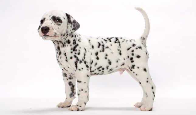 Dalmatian Pet Insurance Compare Plans Prices