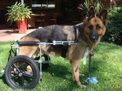German Shepherd Dog suffering from degenerative myelopathy