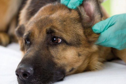 dermatomyositis in dogs