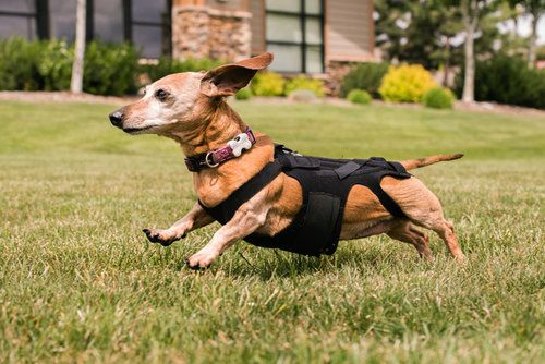 Dog running in a field with a back brace on