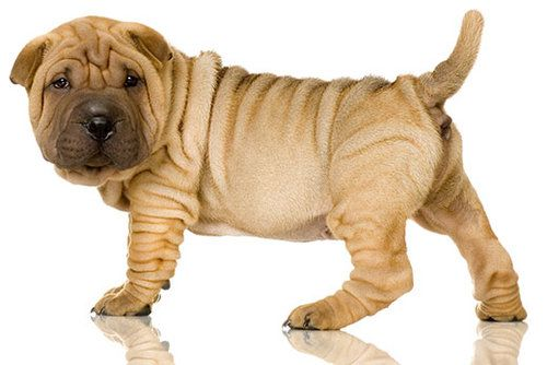 Shar-Pei puppy posing for the camera