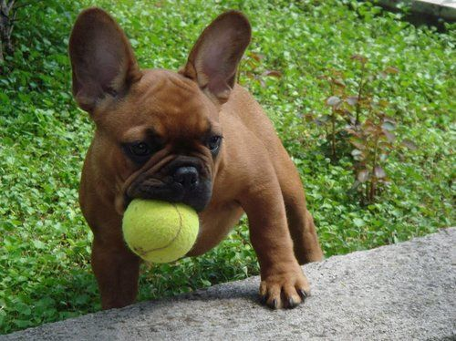 French Bulldog puppy with tennis ball in mouth