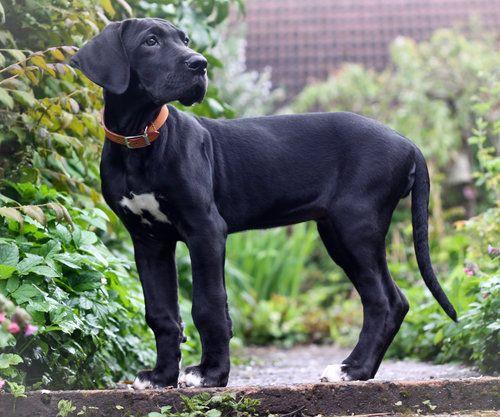 Great Dane Pet Insurance Compare Plans Prices