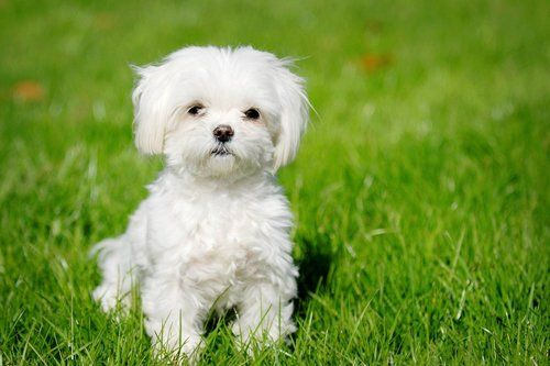 Pictures of havanese puppies and dogs