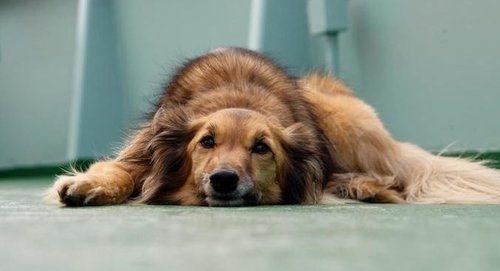 Hepatic Disease Liver Diseases In Dogs