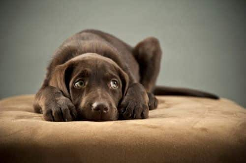 Chocolate labrador suffering from anxiety
