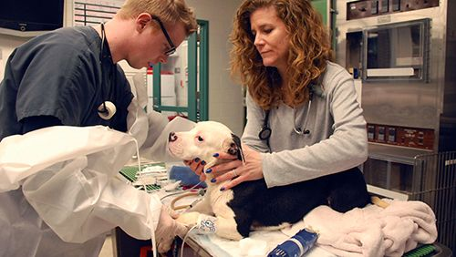 Dog being treated for hyperthyroidism
