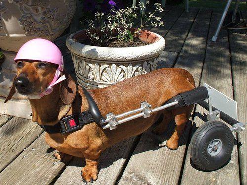 Image result for intervertebral disc disease in dogs