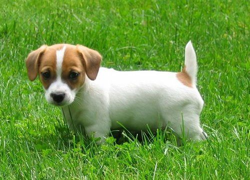 Jack Russell Terrier puppy in a grassy field