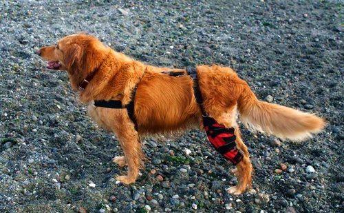 Golden retriever with brace on right hind leg