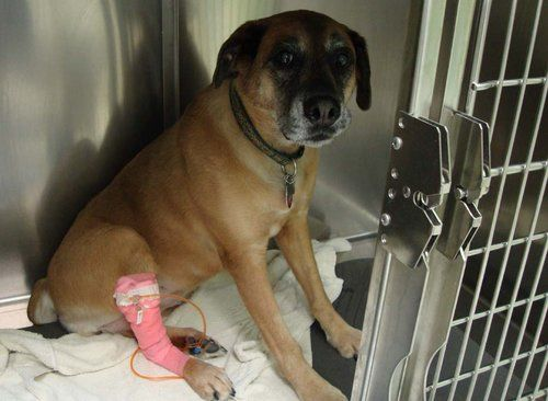 Dog getting blood transfusion to treat kidney problem