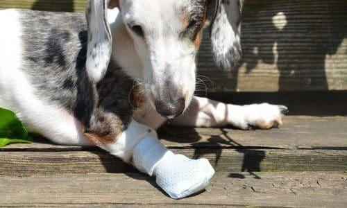 dog laceration