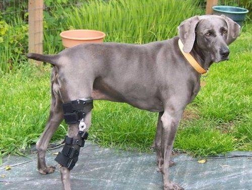 Luxating patella dog wearing a knee brace