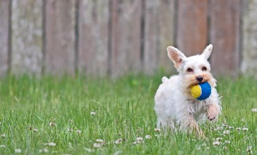 Dog running with ball in his mouth