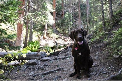 labrador retriever on a trail