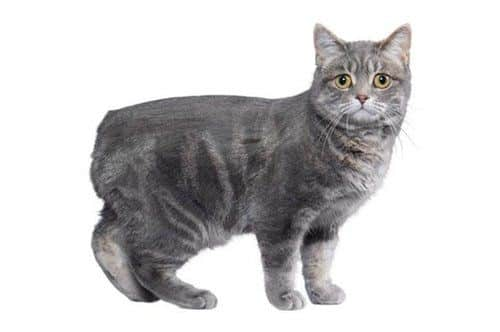 Gray Manx cat
