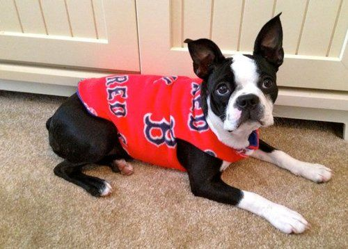 Boston Terrier Red Sox fan