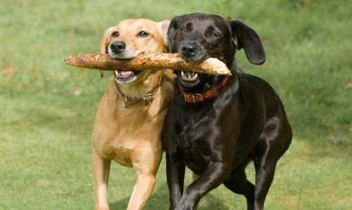 Two dogs running with a stick in their mouths