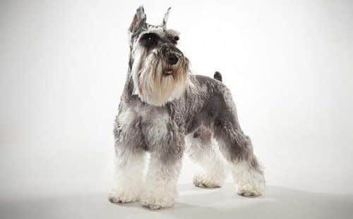 Gray and white Miniature Schnauzer dog