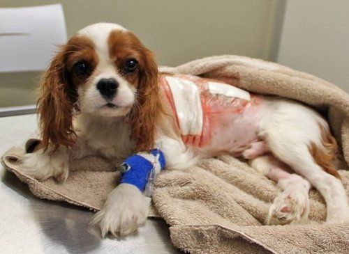 Dog getting treated for Mitral Valve Disease