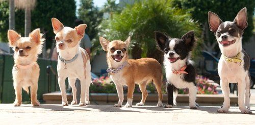 Five Chihuahua dogs posing on a sidewalk